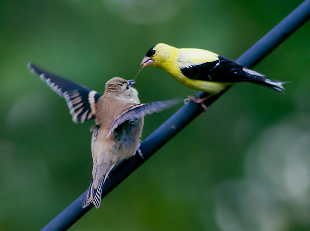 _MG_6298 Male Goldfinch Feeding Baby