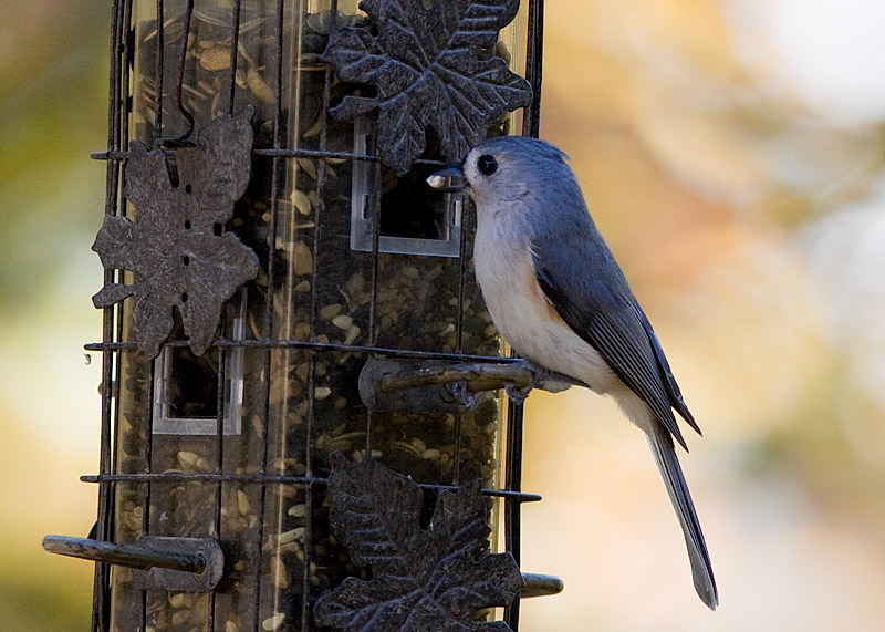 _MG_0519 Titmouse