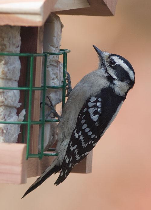 _MG_0320 Downy Woodpecker?