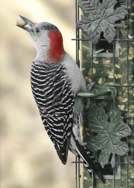 P1000319 woodpecker