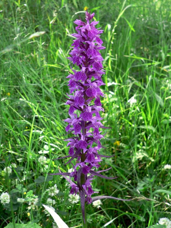 armenian orchidea.jpg
