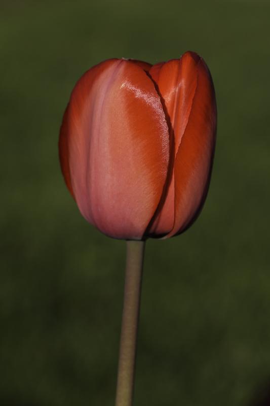 Tulipe / Tulip (Tulipa)