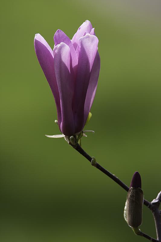 Magnolia (bourgeon floral)