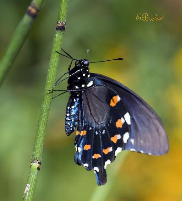 Spicebush Swallow Tail