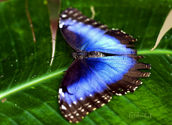 Blue Morpho in the Shade