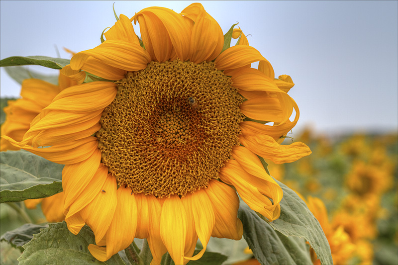 The Magestic Sunflower.jpg