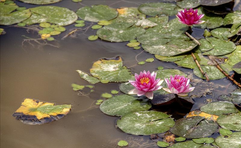 Water Lilies in Canada Park.jpg