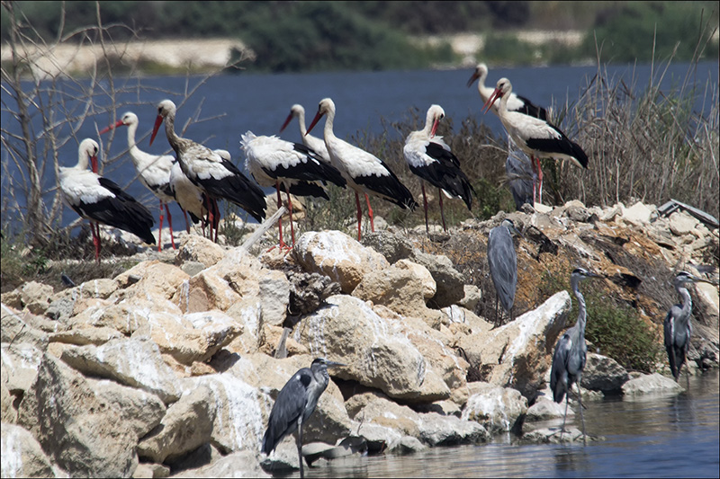 Black Storks and Grey Herons.jpg