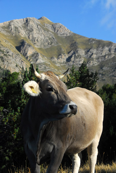 Brown Cow, Pic Alt de la Capa, Andorra