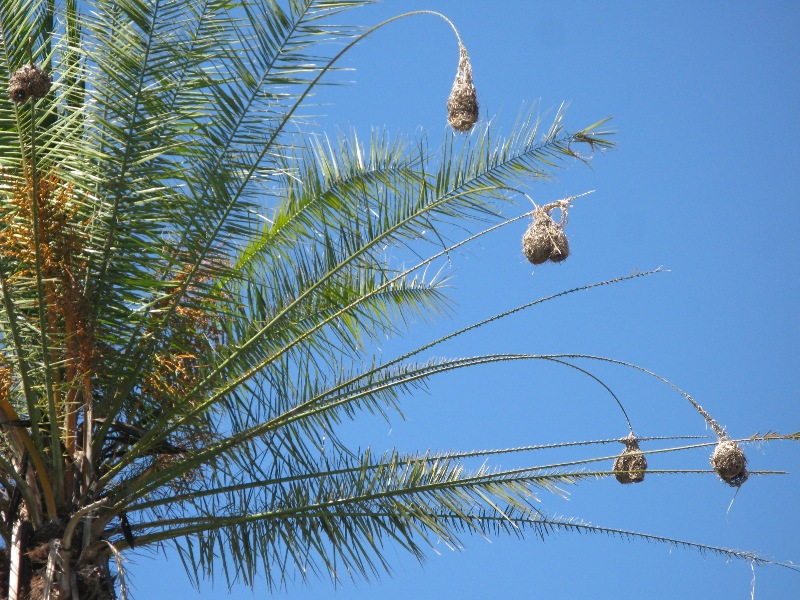 weaver bird nests at our hotel
