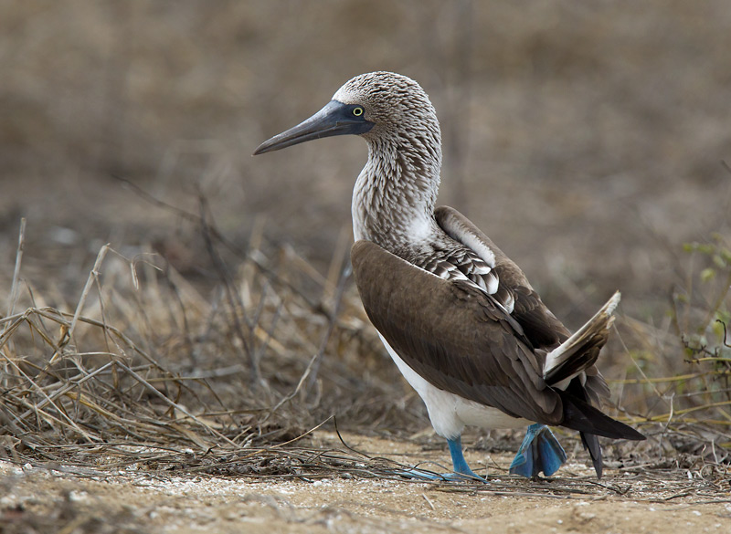 blue-footed booby <br> piquero camanay  <br> Sula nebouxii