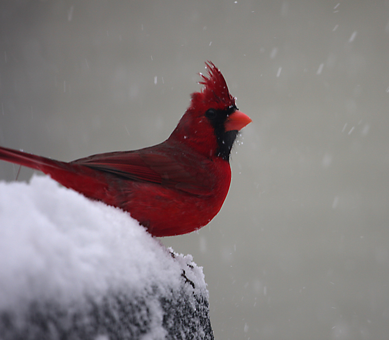 Cardinal/Snowstorm