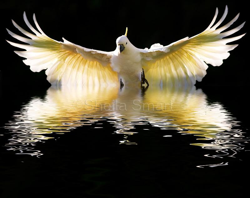 Sulphur crested cockatoo rising