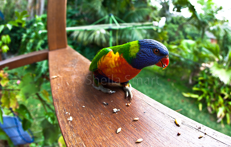 Rainbow lorikeet fisheye