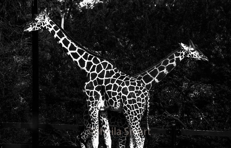 Giraffes in monochrome