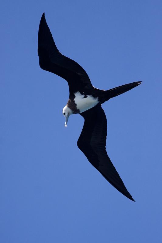 Ascension Frigatebird - Fregata aquila