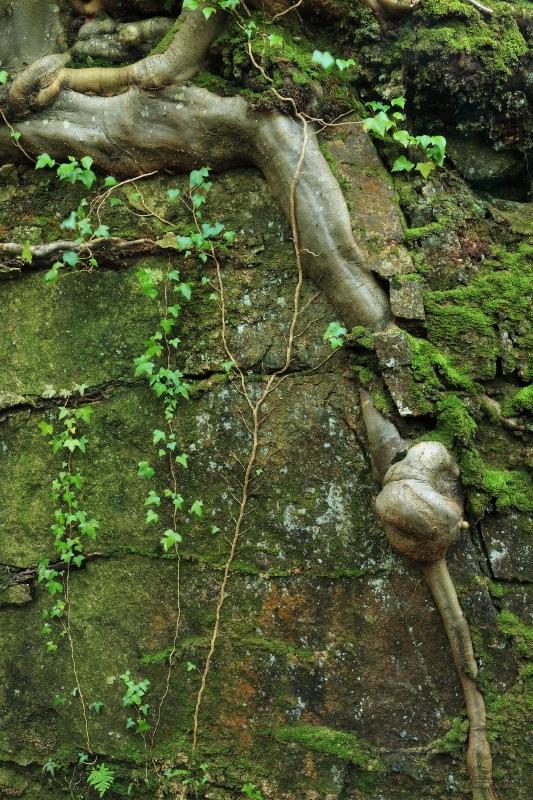 Beech roots in rock