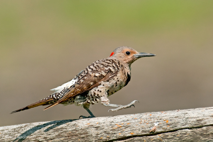 Northern Flicker, yellow shafted