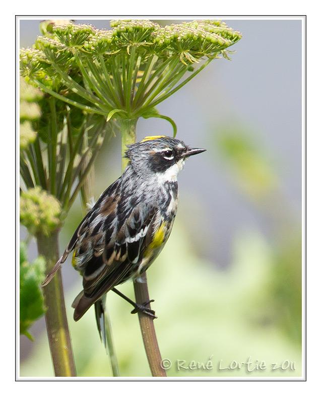 Paruline à croupion jaune<br>Yellow-rumped Warbler