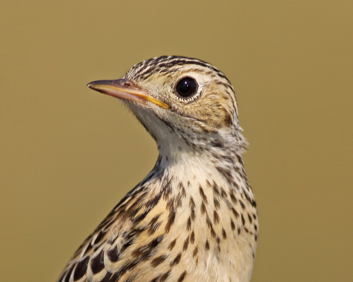spragues-pipit-portrait.jpg