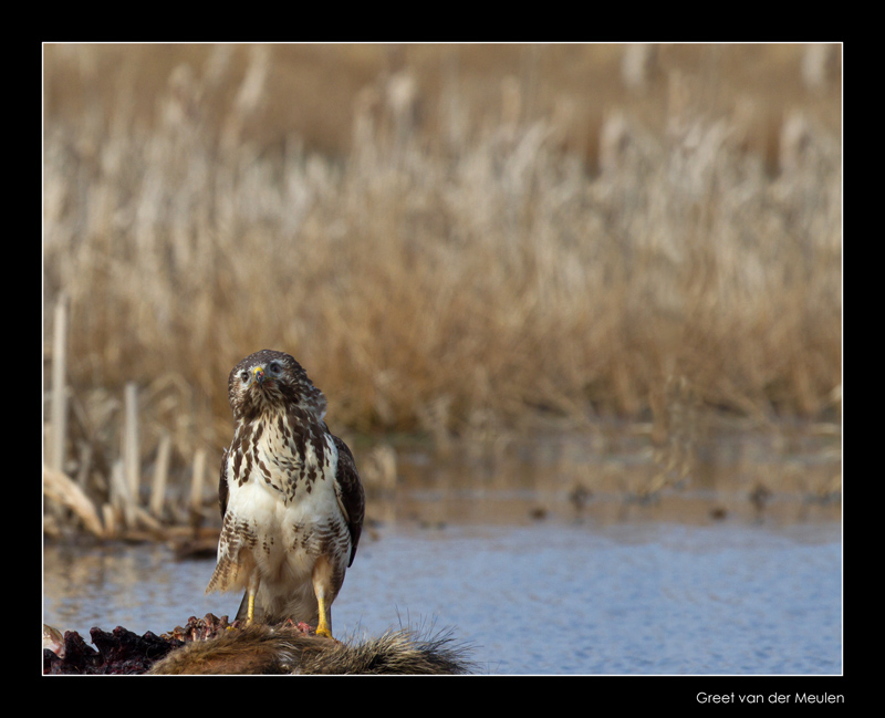 4240 alert buzzard