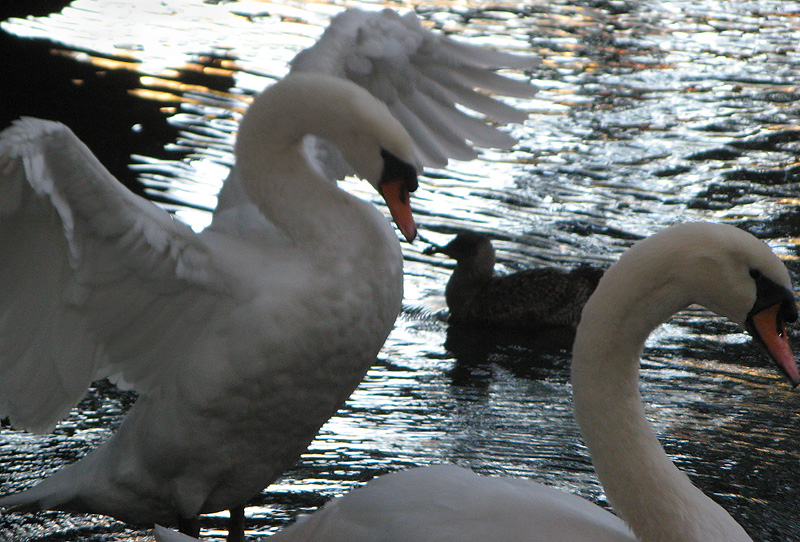 Swans in the Palace of Fine Arts lagoon