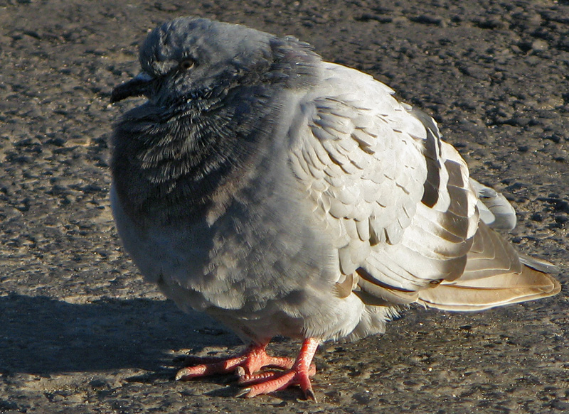 Columba livia - ruffling some of his feathers