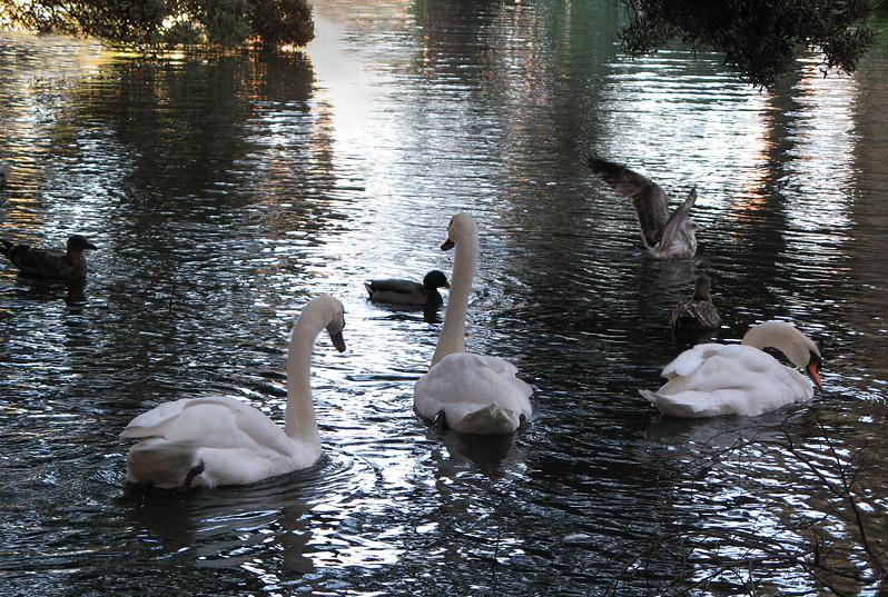 Three swans, three ducks, one flying