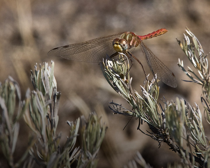 White-faced Meadowhawk (male)