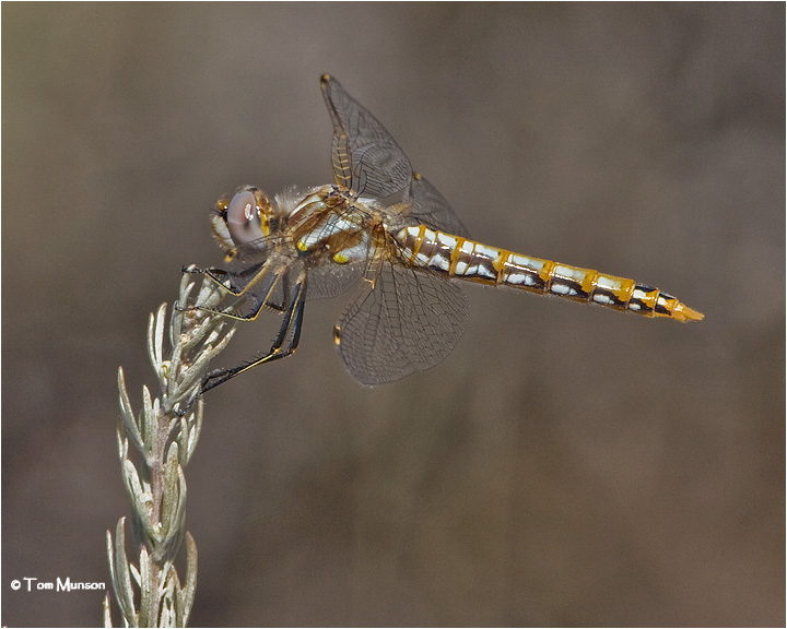 Variegated Meadowhawk (female)