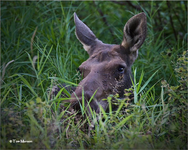 Moose (yearling)