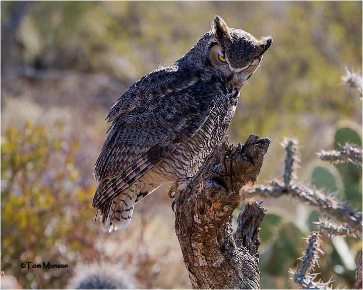 Great Horned Owl (backlit) (Captive)