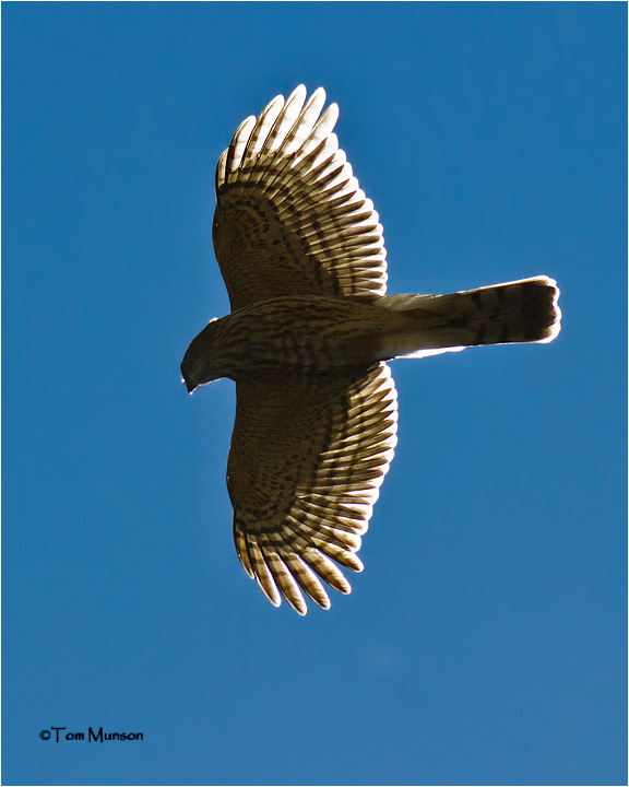 Sharp-shinned Hawk  (backlit)