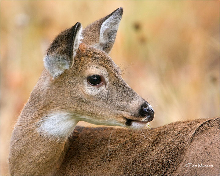 White tailed doe ( yearling)