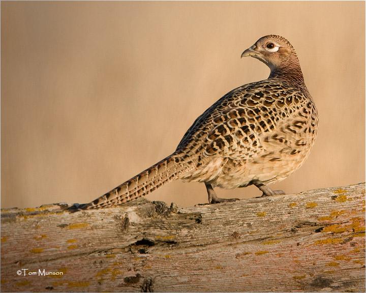 Ring-necked Pheasant  (hen)