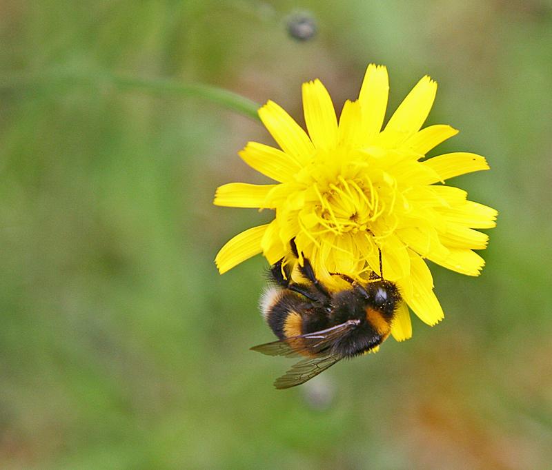 Rotoiti Bumble Bee