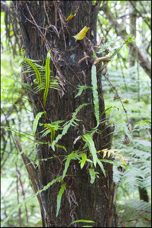 Fragrant Fern growing up the Silver Fern trunk
