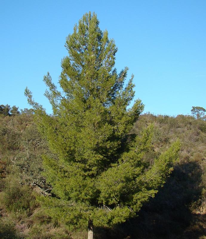 Pinheiro-de-alepo // Aleppo Pine (Pinus halepensis)