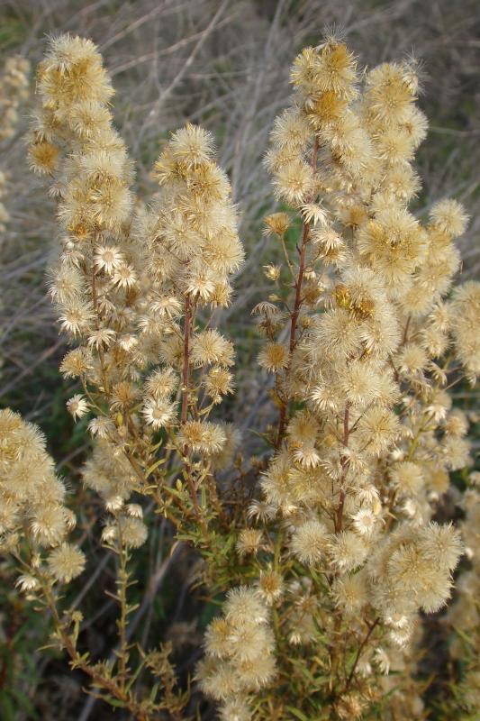 Taveda // False Yellowhead (Dittrichia viscosa)