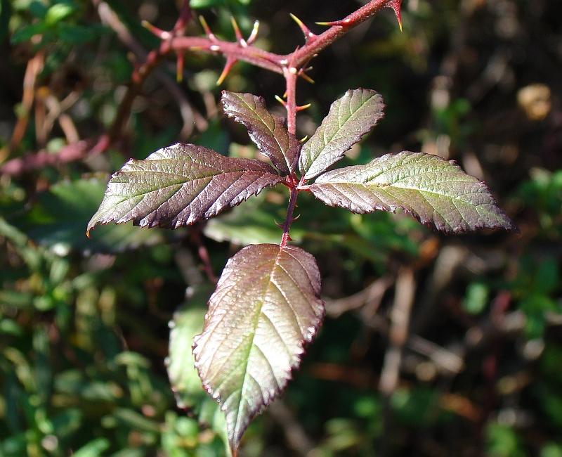 Folhas da Silva // Elmleaf Blackberry (Rubus ulmifolius)