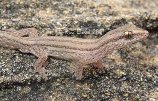 Crenadactylus occidentalis