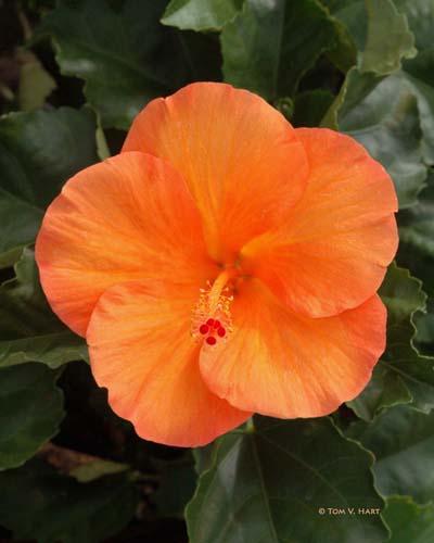 Hibiscus 9-1-2008