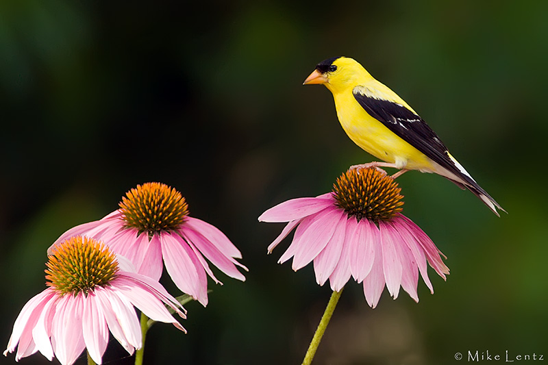 Goldfinch on coneflowers