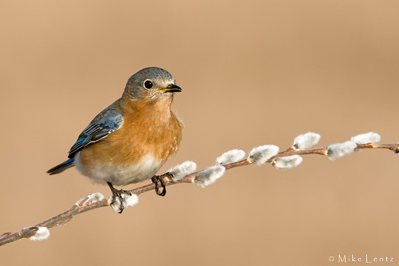 Bluebird on pussywillow