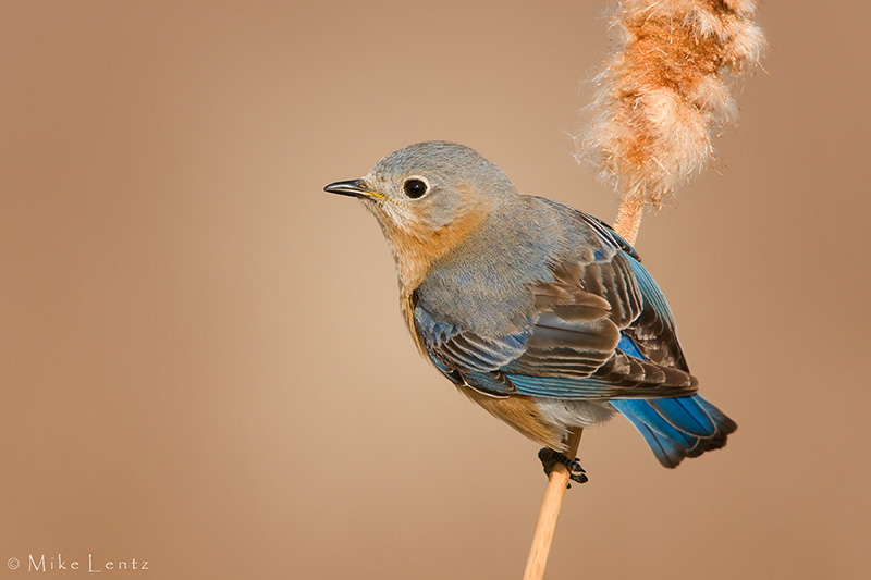 Bluebird cattail perch