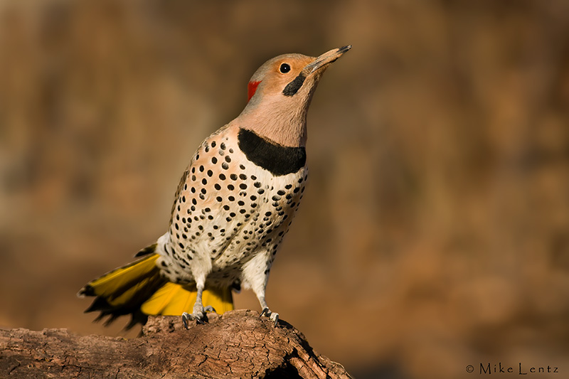 Northern Flicker on log