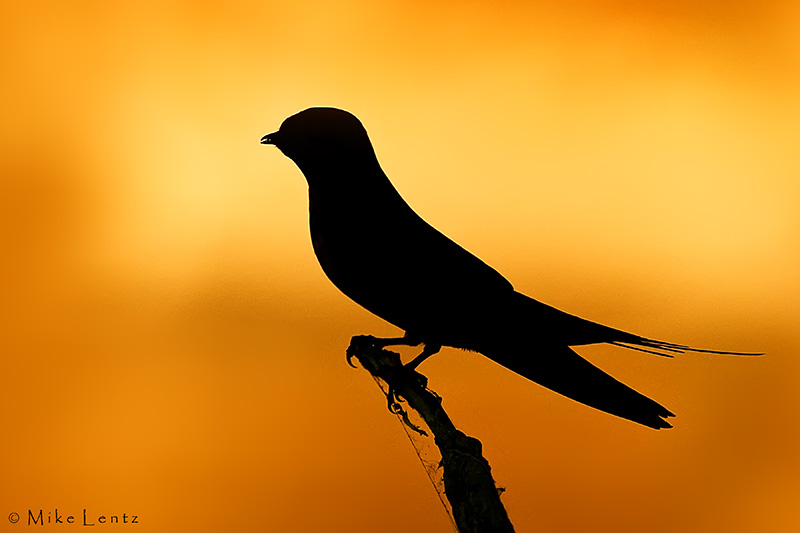 Barn Swallow (silhouette)
