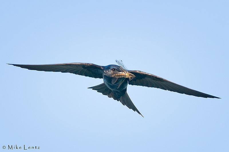 Purple Martin in flight with dragonfly