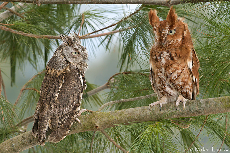 Eastern Screech owl (couple)