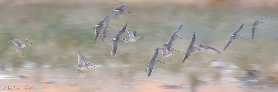 Dowitchers in low light